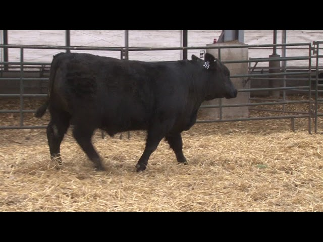 Schiefelbein Angus Farms Lot 315