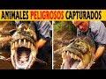 8 Animales Capturados por Jeremy Wade en Monstruos de Rió