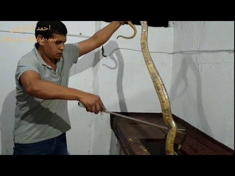 إعادة تهيئة حوض الكوبرا المصرية وأصعب مايواجهنى فى عملية التنظيف والتربية