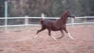 chevaux de laghouat les purs sang arabe