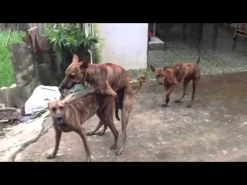 Chó phú quốc xem phối giống