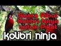 Suara Ribut Kolibri Ninja Untuk Pikat  Mp3 - Mp4 Download