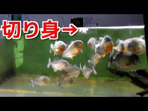 大量のピラニアが泳ぐ水槽に魚の切り身を入れたらやば過ぎた