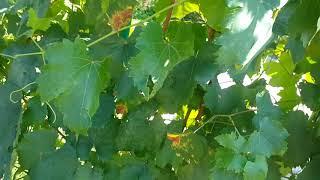 Чеканка винограда в августе