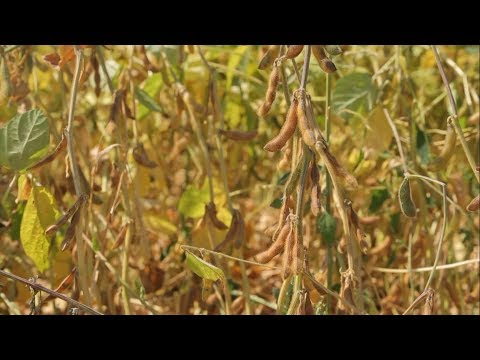 Как собрать высокий урожай сои