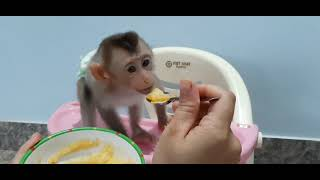 Mother taught Monkey Tom to eat miles with rice flour and vegetables, tubers, fruits.