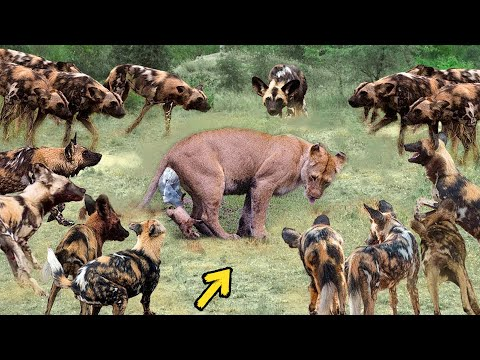 True Battle Of Wild Dogs And Lions | Cheetah vs Antelope, Honey Badger