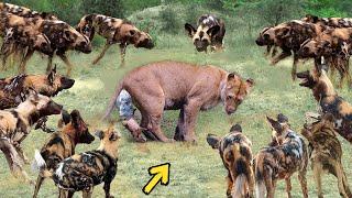 True Battle Of Wild Dogs And Lions   Cheetah vs Antelope, Honey Badger