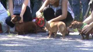 Wiener Dog Race And Best Dachshund Trick !