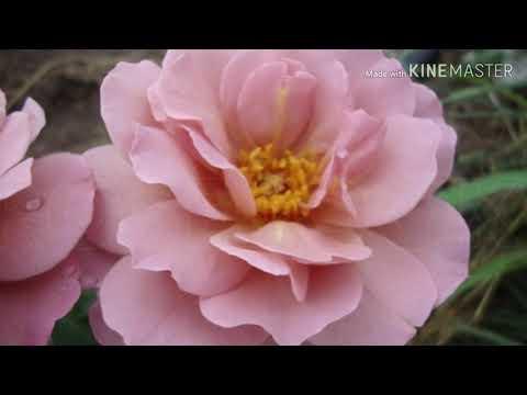 Вопрос: Сорт розы Гросвенор Хаус какие отзывы, мнения?