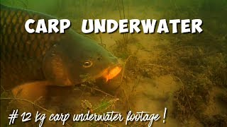 Big 12 kg common carp live underwater with camera Water Wolf HD