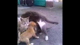 Собака сосет молоко у кошки часть 2