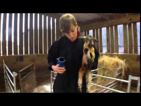 How to Naval Dip Newborn Lamb