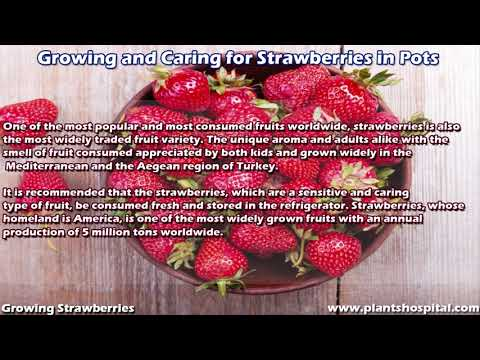 12 Best Tips Of Growing Strawberries: How To Care For Strawberries?