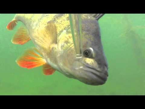 Perch fishing Baltic Sea