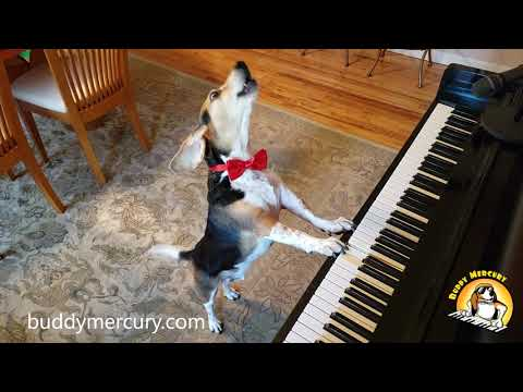 "NEW SONG!!!! 🥓""BACON""🥓 by BUDDY MERCURY THE AMAZING PIANO DOG!!!!"