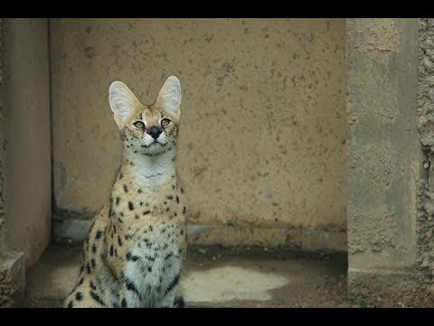 13 Amazing Serval Facts