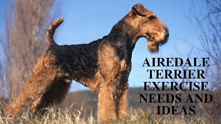 Airedale Terrier Exercise [Needs and Ideas]