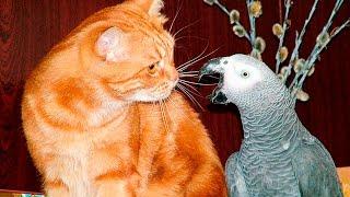 Смешные попугаи достают кошек - Parrot teasing the cat - Приколи попугаи и кошки