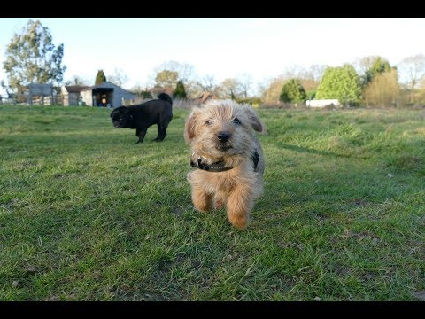 Sylvester - Norfolk Terrier Puppy - 2 Weeks Residential Dog Training