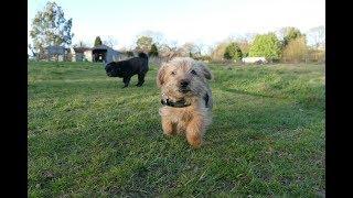 Sylvester  Norfolk Terrier Puppy  2 Weeks Residential Dog Training
