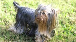 Yorkshire Terrier Dog & Puppies Information Video - Animal Videos