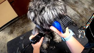Extremely Difficult Matted 6 Month Old Schnauzer Puppy | Wasn't Able To Finish Last Groom [CC]