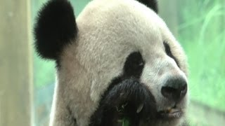 Giant Panda & Baby in Chongqing Zoo - Sichuan China