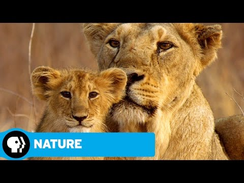 NATURE | India's Wandering Lions | Preview | PBS