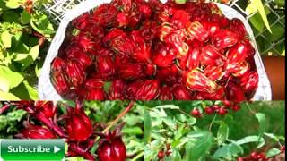 Advantages And Benefits Of Roselle Or Rosella360p
