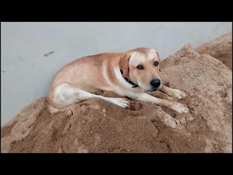 Pomeranian Puppy Vs Labrador Retriever