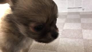 ペットショップ 犬の家 加古川店 「チワワ」「95325」 thumbnail