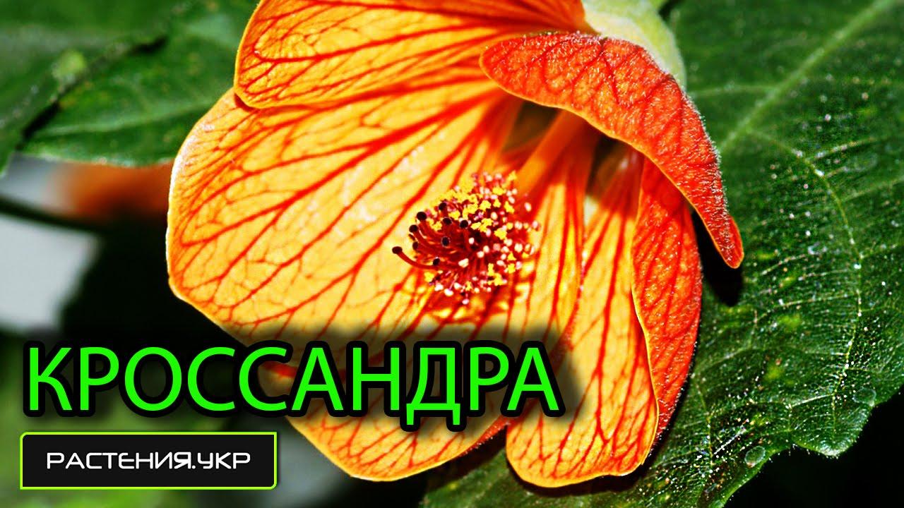 Комнатные цветы кассандра