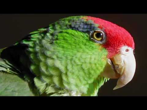 New species of parrots: identified in Mexico.