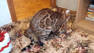 Вязка с Бенгальским котом Москва