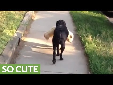 dog-takes-stuffed-animal-with-him-for-his-walk
