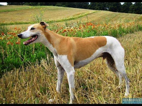 Порода Собак №1 - Австралийская борзая