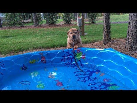Norfolk Terrier Hank Born To Swim