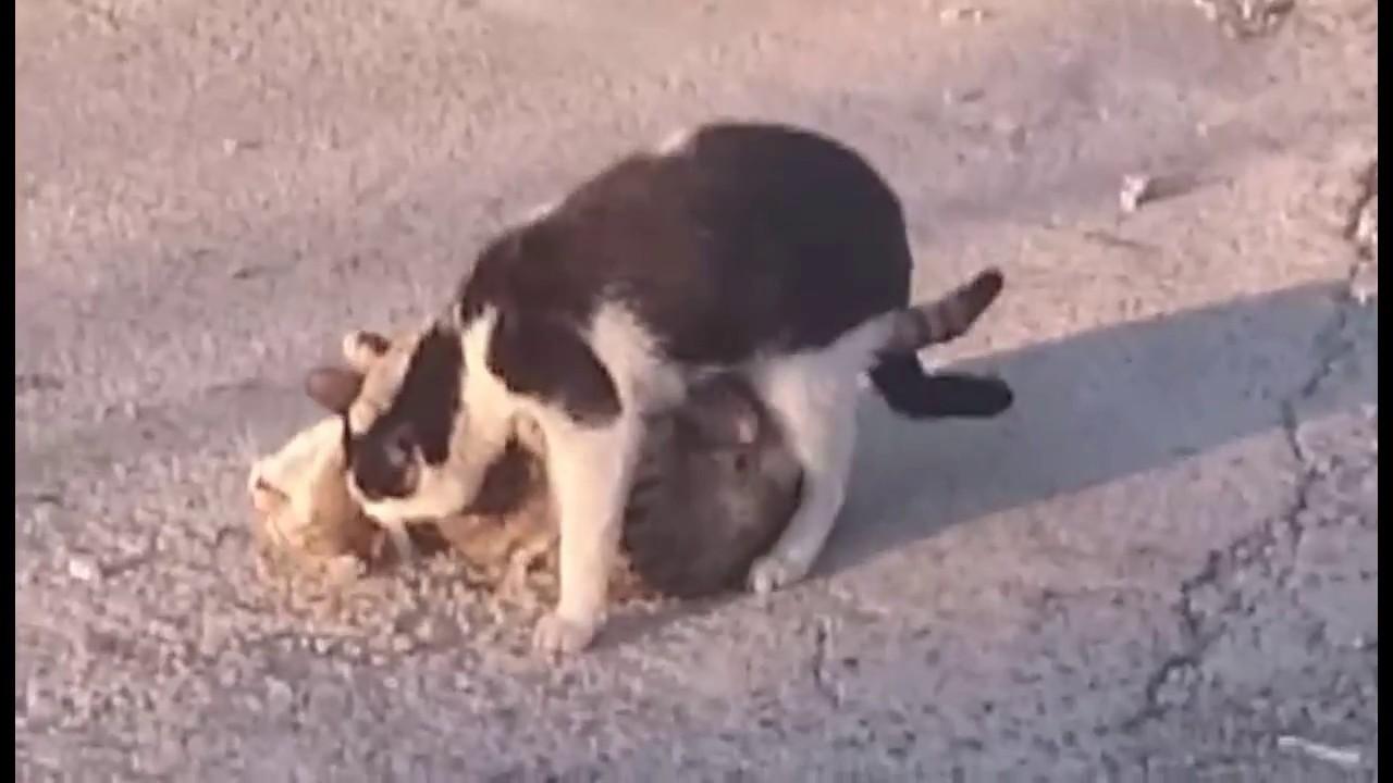 Sex Animal Cat Vs Cat - Youtube-6791