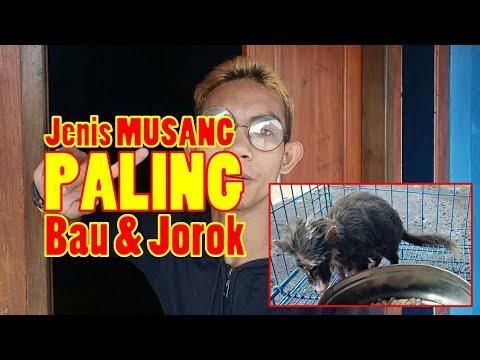 REVIEW MUSANG BIUL - YouTube