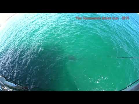 Whale Shark at City Pier-Panama City Beach FL