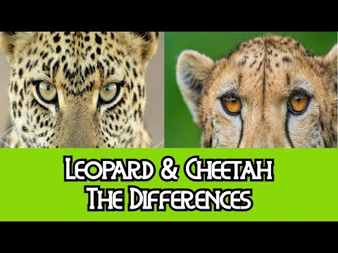 difference between leopard and cheetah difference. Black Bedroom Furniture Sets. Home Design Ideas