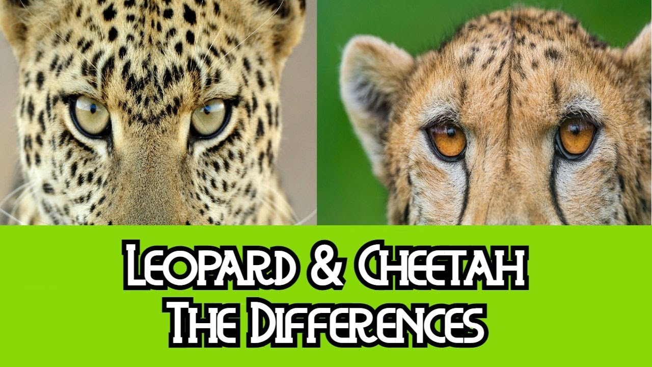 information of cheetah in english