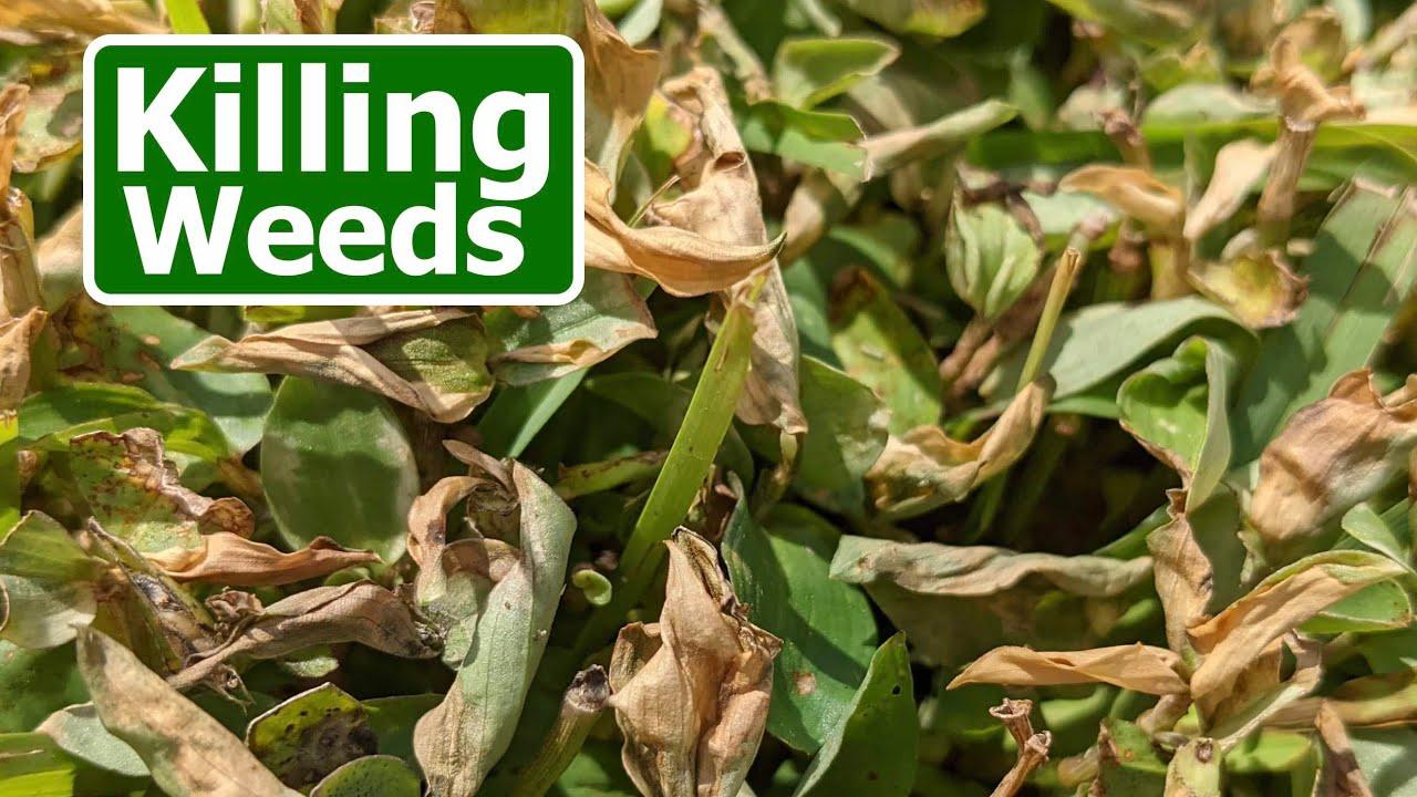 Fall Weed Control Options in Warm Season Lawns
