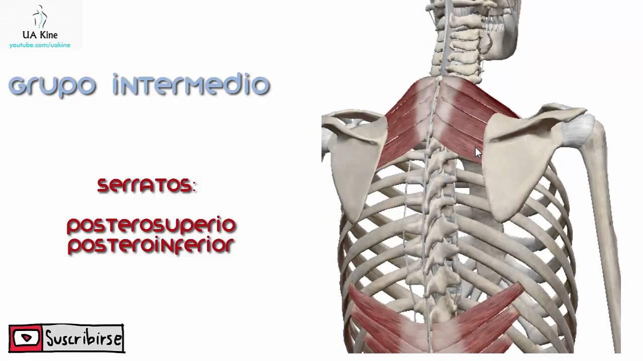 Anatomía, Musculos Dorsales del tronco Grupo Intermedio - YouTube