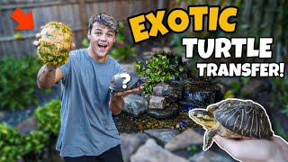 MOVING ALL My EXOTIC TURTLES to My OLD BackYard PONDS!!