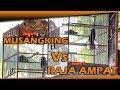 Duel Kacer Musangking Vs Kacer Raja Amapat Di Launching Lapangan Kicau Anugrah Pemangkat  Mp3 - Mp4 Download