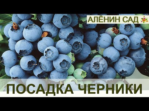 Правильная посадка ГОЛУБИКИ или ЧЕРНИКИ садовой!!!
