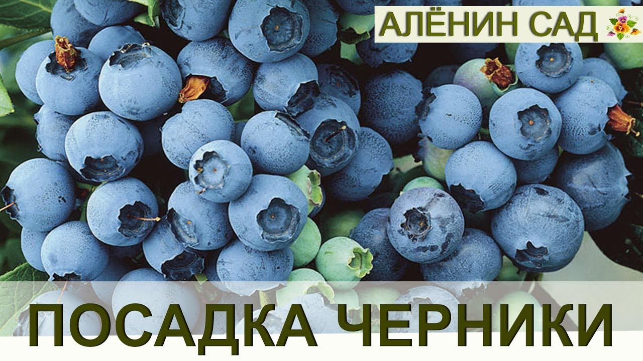 Правильная посадка ГОЛУБИКИ или ЧЕРНИКИ садовой!!! / Огород в контейнерах