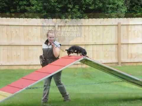 Sampson (Chihuahua) Boot Camp Dog Training Demonstration